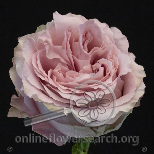 Rose Sweet4Love (aka All4Passion)