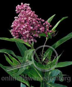 Asclepias Lavender (Milk Weed)