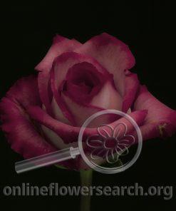 Rose Classic Cezanne