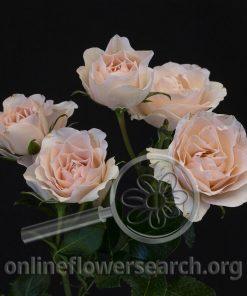 Spray Rose Celestial