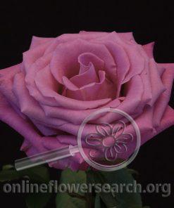 Rose Parmida