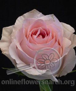 Rose Luciano!