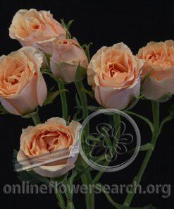 Spray Rose Baby Rosever