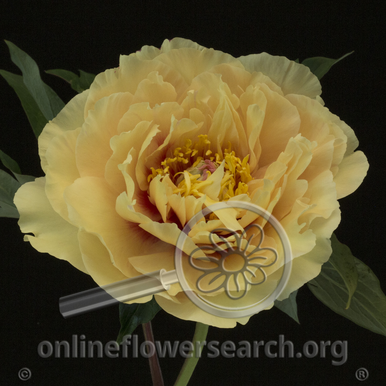 Peony Garden Treasure Online Flower Search
