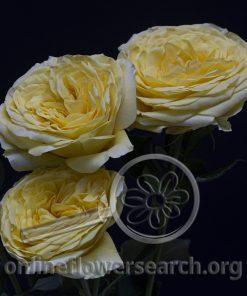 Spray Rose Lemon Pompon Freelander