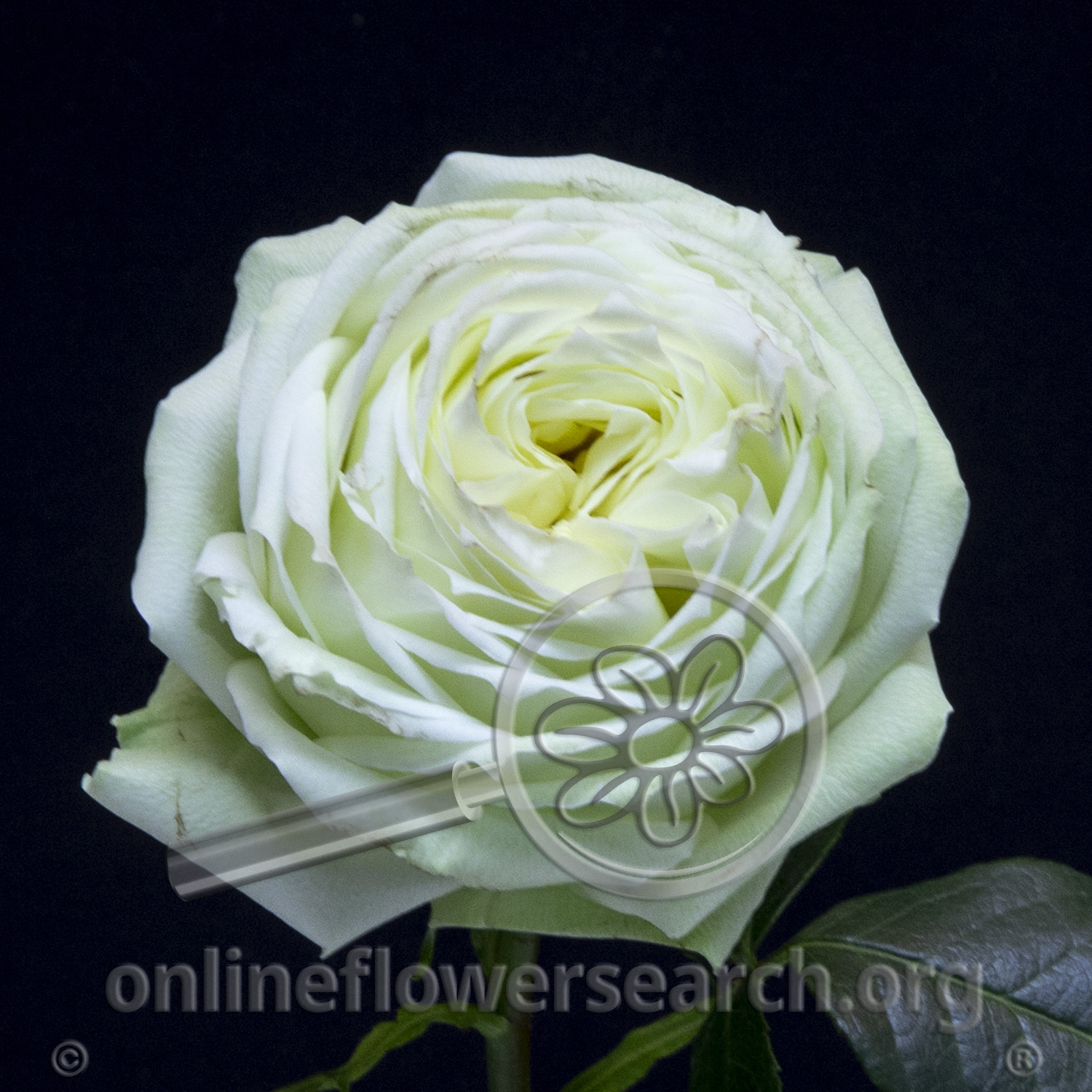 Rose White Piano - Online Flower Search