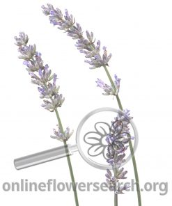 Herb Lavender English