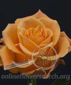 Rose Tropic Crush