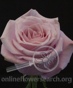 Rose Shy