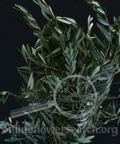 Olive Foliage