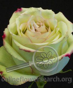 Rose Hypnose@