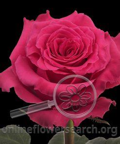 Rose Pink Floyd!