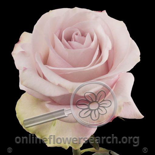 Rose Secret Garden!