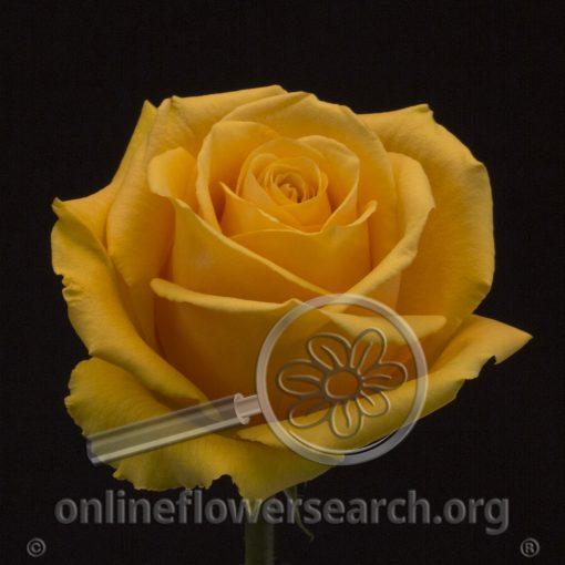 Rose Sol