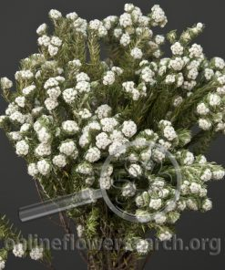 Phylica Snowtops