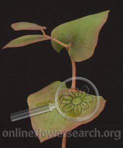 Protea Cordata Foliage