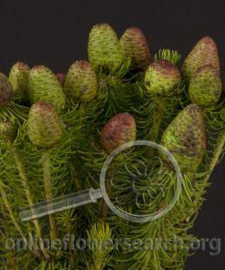 Leucadendron Cumosum