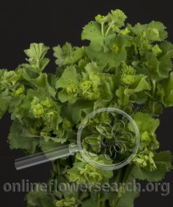 Alchemilla (Lady's Mantle)
