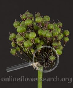 Allium Seedpods