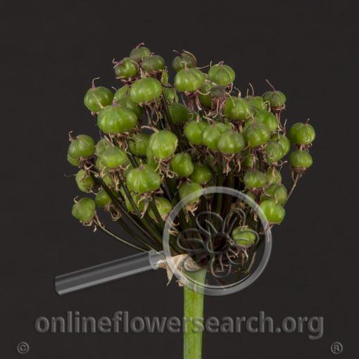 Allium Seedpods