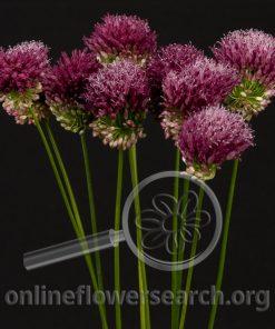 Allium Bullet (Drumstick)