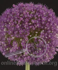 Allium Giant