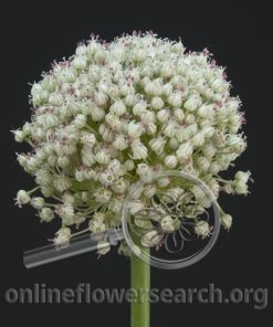 Allium Golfball White