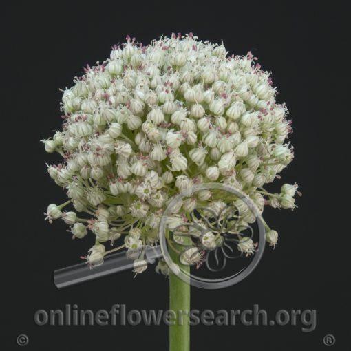 Allium Golfball White