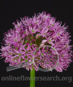 Allium Pink Giant