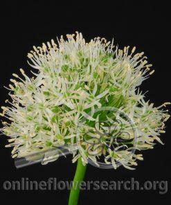 Allium White Mount Everest