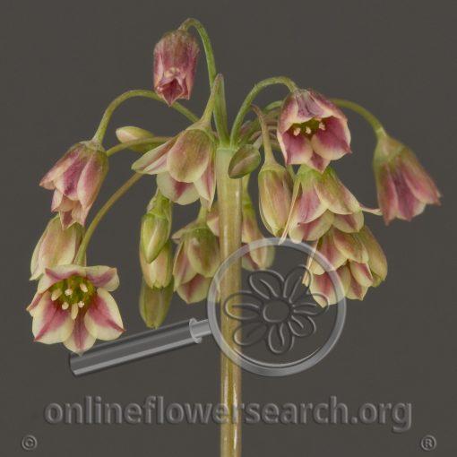 Allium Sicilum Hanging