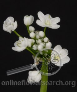 Allium Cowanii Spray White