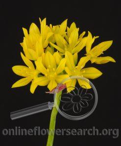 Allium Spray Moly Jeannine