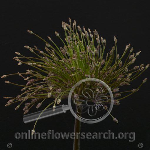Allium Spider Schubertii