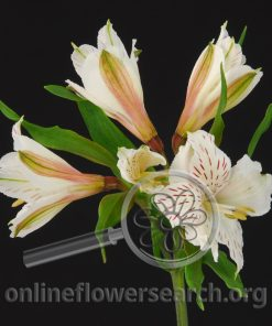 Alstroemeria Diamond