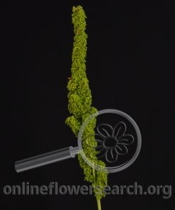 Amaranthus Upright Green