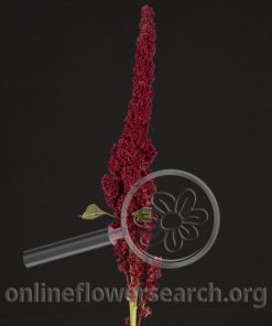 Amaranthus Upright Red
