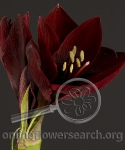 Amaryllis Loyalty