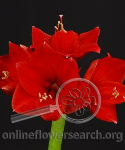 Amaryllis Red Lion