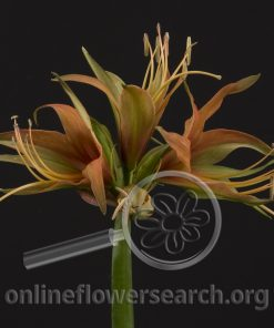 Amaryllis Merengue