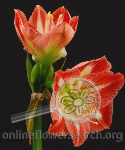 Amaryllis Minerva (Striped)