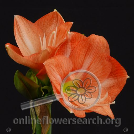 Amaryllis Orange Nagano