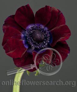 Anemone Black