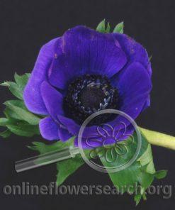 Anemone Blue
