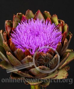 Artichoke Purple (Flowering)