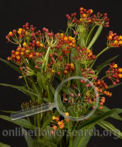 Asclepias Orange (Butterfly Weed)