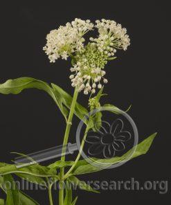 Asclepias White (Milk Weed)