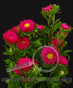 Aster Japanese Hot Pink