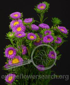 Aster Japanese Lavender