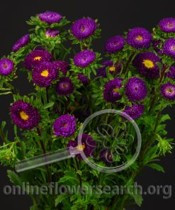 Aster Japanese Purple